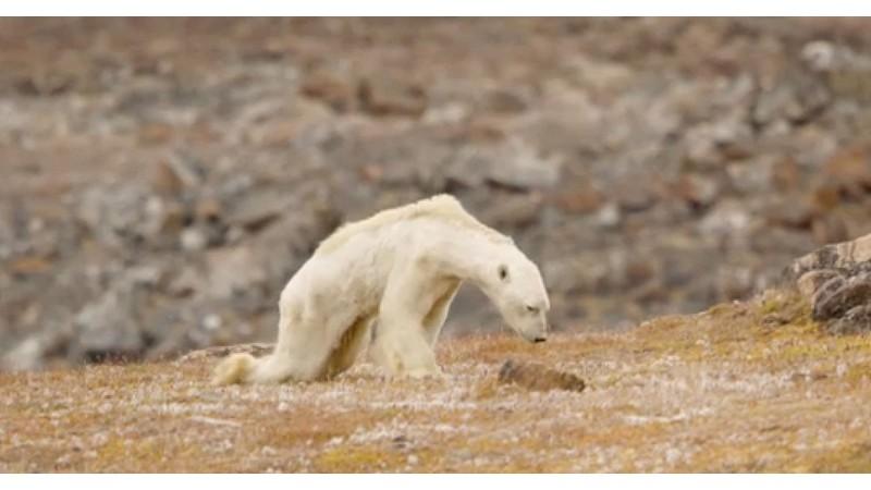 Фотограф National Geographic поделился душераздирающим видео белого медведя